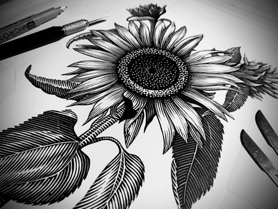 Sunflower Illustration pen and ink scratchboard engraving linocut artwork illustrator illustration woodcut steven noble
