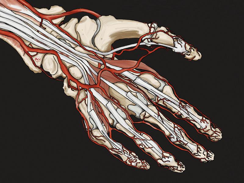 Hand - Anatomy Book Test anatomy human scale illustration