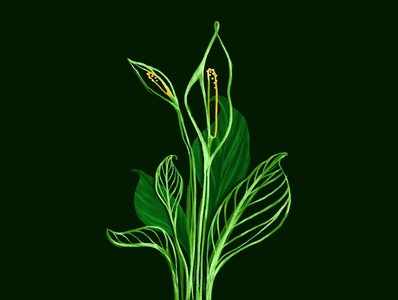 Peace Lily flowers lily greenery leaf leaves plants peace lily peace