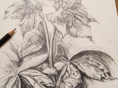 Christmas Rose Pencil Study
