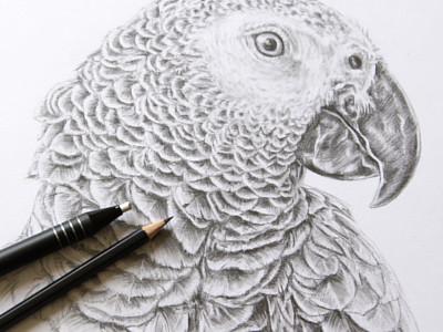 Gray Parrot Pencil Drawing