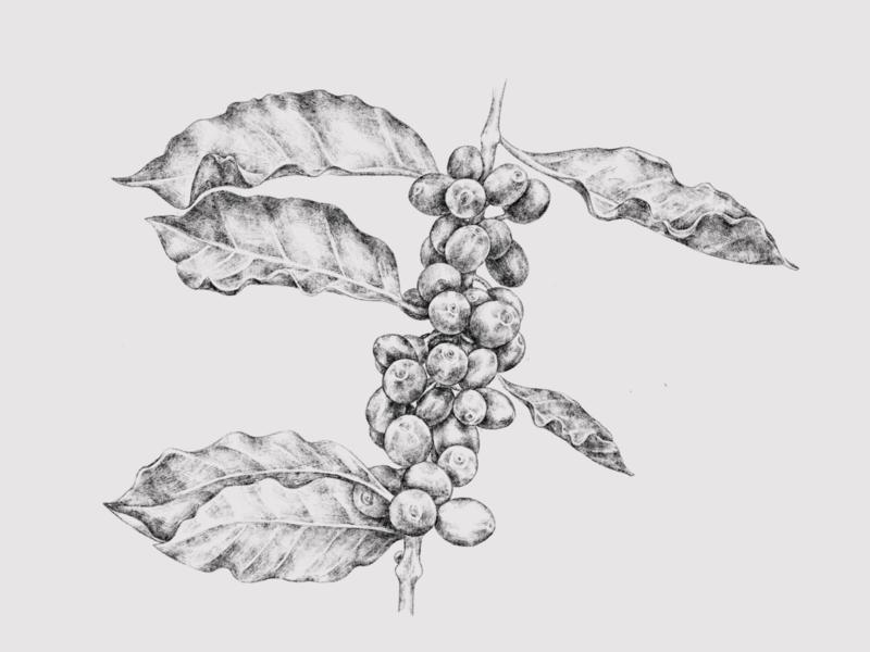 Coffee illustration packaging art digital art procreate app drawing design plant coffee bean coffee illustration