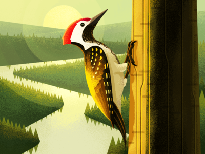 Golden-backed woodpecker illiustration