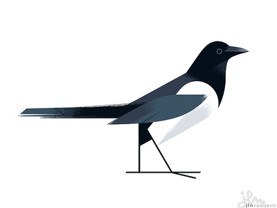 Pica Pica animal nature ornithology drawing minimal design magpie bird illustration