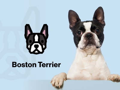 Boston Terrier Dog Logo massachusetts boston terrier vector