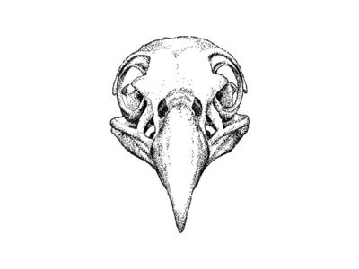 Bald Eagle Skull