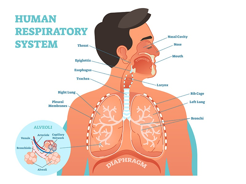 Human Respiratory System by Eduards Normaals - Dribbble