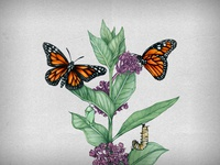 Symbiosis of the Monarch and Milkweed plant