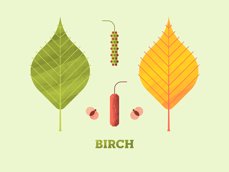 Birch autumn trees plant texture flower illustration forrest flora flower seed leaf leaves tree birch