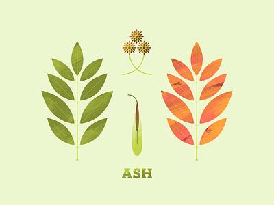 Ash texture flower flora seeds seed illustration art illustration illustrator plant leaves leaf trees tree ash