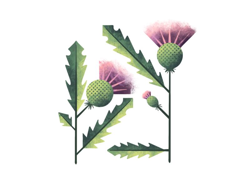 Thistle flora leaves illustrator illustration procreate texture flower plant illustration thistle