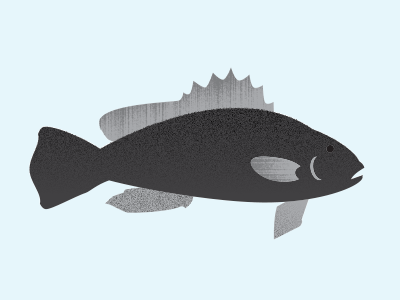 Black Sea Bass seabass ocean sealife infographics blackseabass