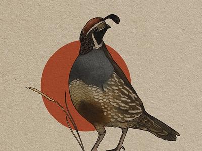 Callipepla californica bird california audubon nature quail illustration design branding adventure
