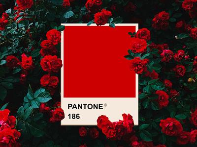Valentine's Day roses valentines day valentines red graphic  design pantone design