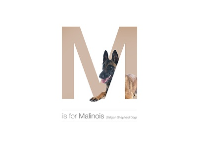 M - Malinois dogalphabet letter shepherd belgian breed dog malinois