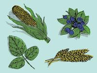 Crops Illustration Color