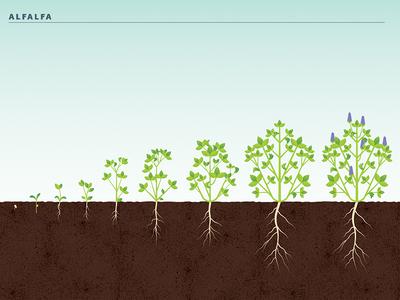 Alfalfa Crop Stages