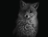 Fox WIP