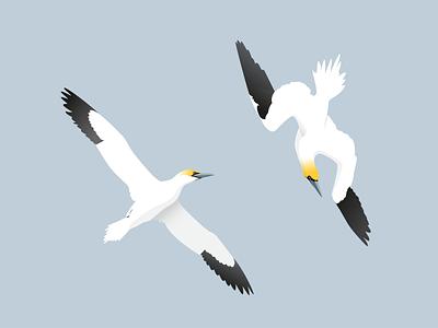 Gannets seabird illustration gannet