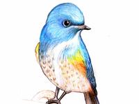 Bird Pencil Art bird illustration bird sketch bird artwork hand drawing colorful pencil pencil drawing pencil art