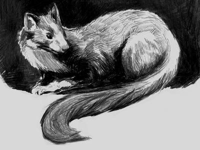 Pine Marten illustration drawing sketch
