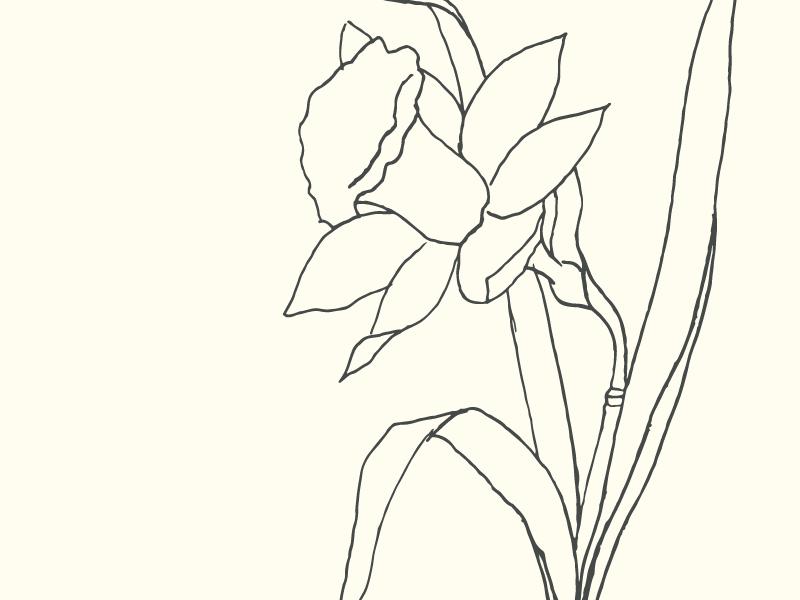 Line Drawing Daffodil : Daffodil sketch by saturday studio dribbble
