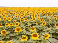 Bright Color Of Sunflower Field