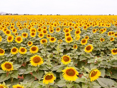 Bright Color Of Sunflower Field creative commons cmyk photography photo flower bright color field sunflower