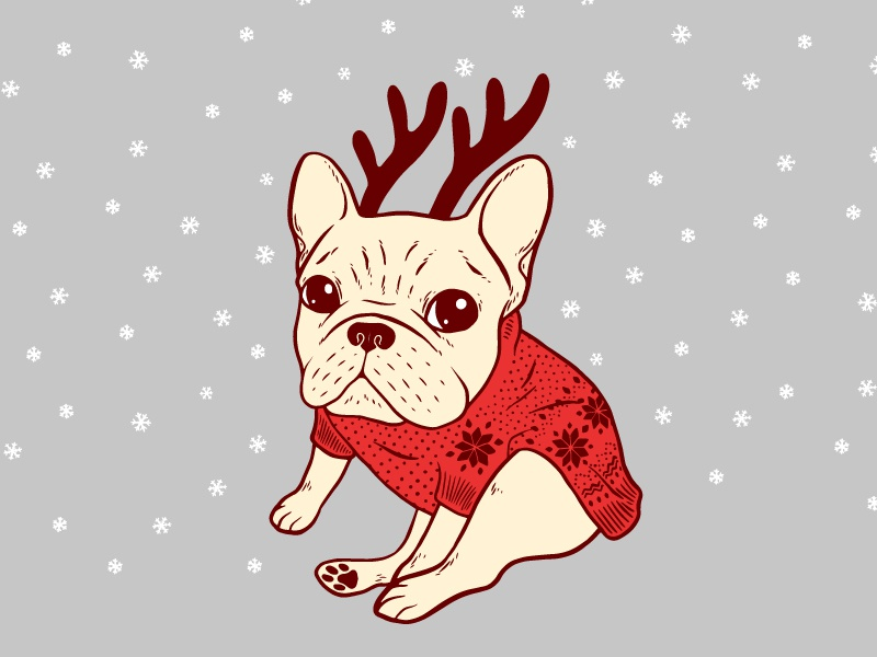 blue frenchie in christmas sweaterd a cream french bulldog