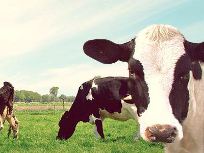 Kopps Love cows