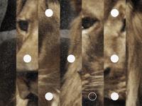 Lion, closeup.