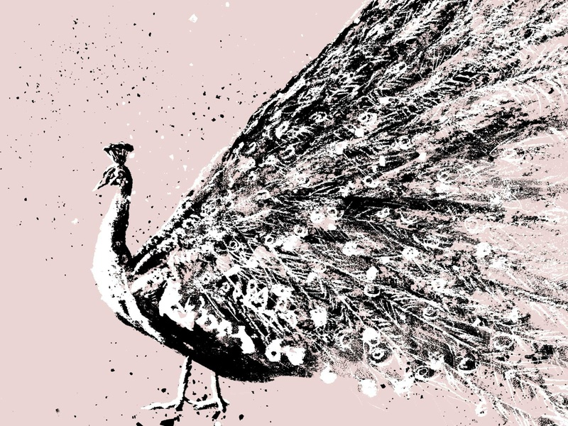Peacock feather farm animal farm drawing animals animal pink 2d art feathers bird peacock illustration charcoal