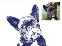 Daphne, the french bulldog