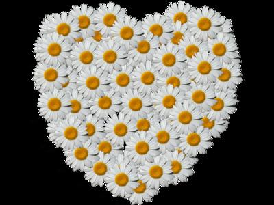 Daisy Heart daisy made into a heart