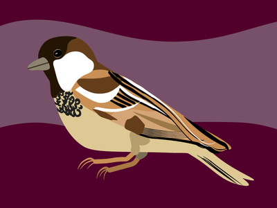 House Sparrow Bird Illustration house sparrow ornithology vector michigan birding woodland audubon sparrow bird illustration backyard birds