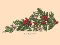 Bluegrass Coffee plant botanical coffee plant coffee design illustration kentucky