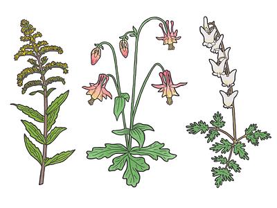 Kentucky Native Species columbine goldenrod botanical illustration botanical nature flower plants digital painting kentucky illustration