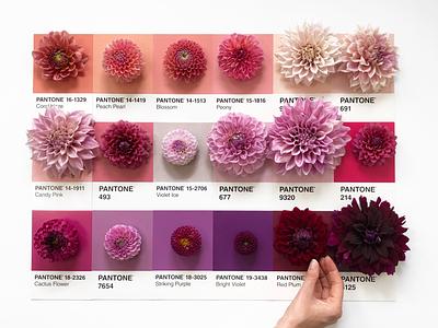 Coral Haze to Red Plum peach purple plum coral inspiration swatch floral designer pantone flowers dahlia palette color