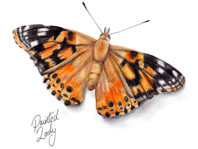 Painted Lady - watercolour butterfly illustration bugs animal illustration countryside garden wildlife art nature watercolour illustration butterfly