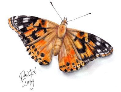 Painted Lady - watercolour butterfly illustration