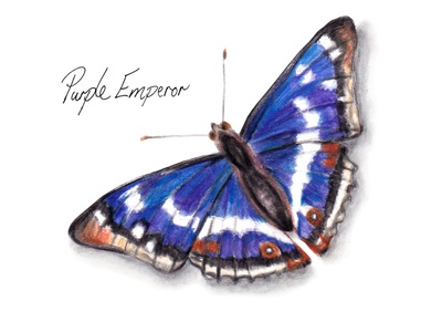 Purple Emperor Butterfly - Watercolour illustration wildlife gardening countryside woodland butterfly natural conservation animal illustration nature butterflies wildlife illustration