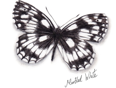 Marbled White Butterfly watercolour illustration