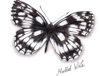 Marbled White Butterfly watercolour illustration wildlife gardening countryside woodland butterfly natural conservation animal illustration nature butterflies wildlife illustration