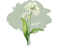 Food Illustration Wild Garlic