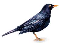 Watercolour Bird Illustration Blackbird