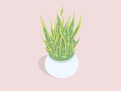 Sansevieria trifasciata house plant