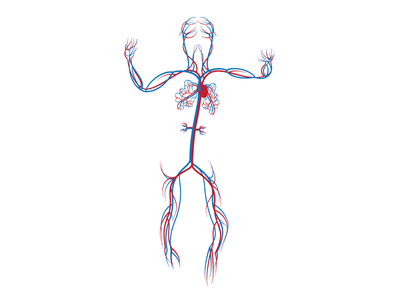 Human Circulatory System WIP pacific science center scientific diagram blood circulatory science human