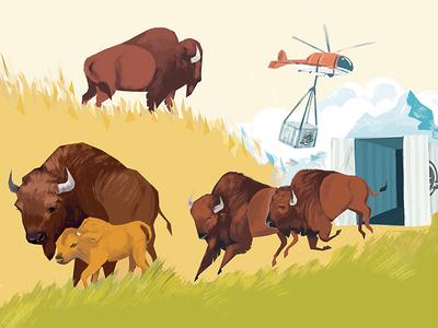 Bringing Bison Back to Banff